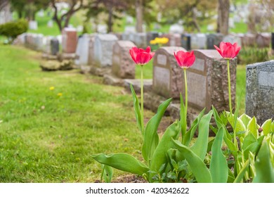 Headstones in a cemetery with three red tulips