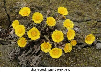 Healing coltsfoot flower Tussilago farfara