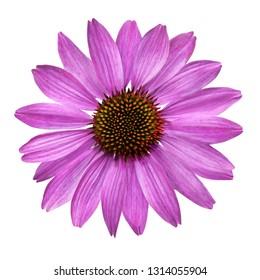 Healing Echinacea flower isolated against white background