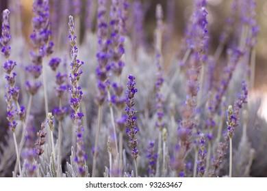 Healing Lavender Plants ready to pick