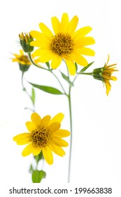 healing plants: Arnica (Arnica montana) isolated on white background