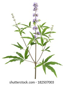healing plants: Chasteberry (Vitex agnus-castus) - isolated on white background