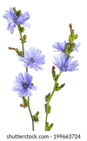 healing plants: Common chicory (Cichorium intybus) - in front of white background