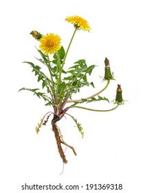 healing plants: Dandelion (Taraxacum officinale) - whole plant on white background