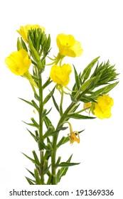 healing plants: evening primrose (oenothera biennis) on white background
