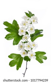 healing plants: Hawthorn (Crataegus monogyna) flowers and leaves isolated on white background
