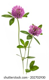 healing plants: Red clover (Trifolium pratense) standing in front of white background