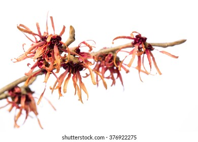 Healing plants: witch-hazel (Hamamelis vernalis) twig with red / yellow blossoms isolated on white background