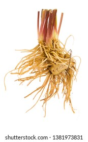 healing roots of Valerian (Valeriana officinalis) isolated on white background