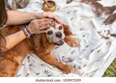 Healing stone on Cavalier spaniel dog