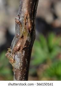 Healing whip-and-tongue graft on an 'Opal' plum