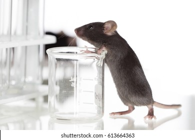 Health, black lab mice, around four weeks old with pure white background