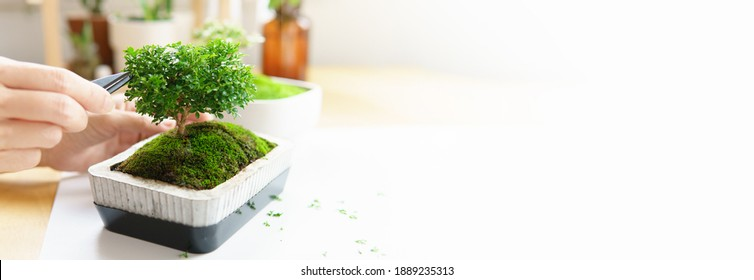 Health and wellness benefit from houseplants. Hands of a woman gently trim to shape a small trees - bonsai. Greenery hobby during Covid 19 Quarantine. Indoor gardening, Mindfulness meditation, Banner