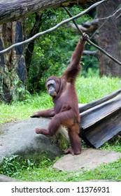 Healthy adult orangutan in a zoo.