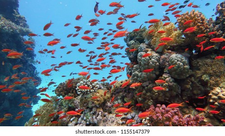 Healthy beautiful coral reef with shoal or red coral fish