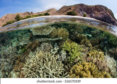 A healthy, biodiverse coral reef grows in the shallows of Komodo National Park, Indonesia. This beautiful region harbors an extraordinary amount of marine biodiversity.