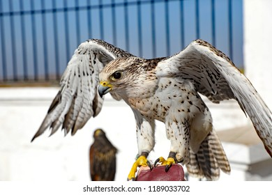 A healthy bird of prey raptor on a handler's glove in Arcos de la Frontera, Spain, where falcons are trained to hunt.