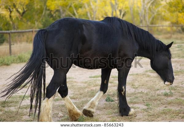 Healthy Black Horse on the Farm.