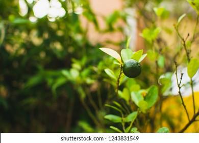 A healthy calamansi or calamondin growing, tropical plant