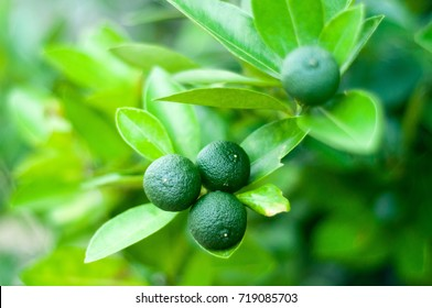 A healthy calamansi or calamondin tropical lime plant growing fresh outdoors