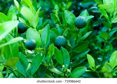 A healthy calamansi or calamondin tropical lime plant growing fresh at outdoors