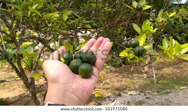 A healthy calamansi or calamondin tropical lime plant growing outdoors