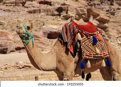 Healthy camel in Petra, waiting to give a tourist a ride