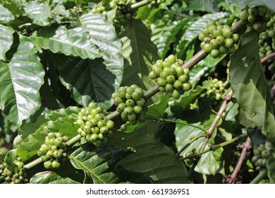 Healthy coffee beans on coffee tree