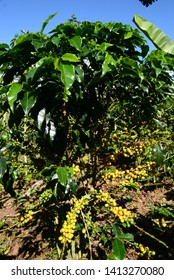 Healthy coffee plant in the fields of the Huayabamba Valley in Amazonas-PERU
