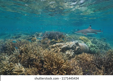 Healthy coral reef with a blacktip reef shark and a school of sergeant major fish underwater, Pacific ocean, Oceania