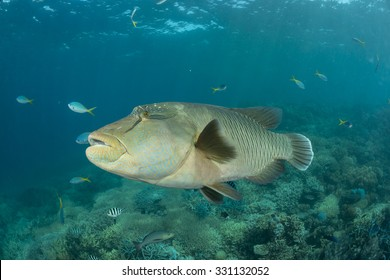 Healthy coral reef of the Great Barrier Reef with adult male Napoleon Wrasse swimming in the reef.