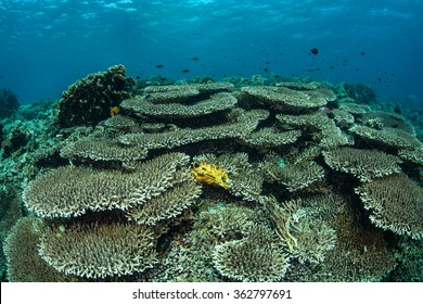 A healthy coral reef grows in Komodo National Park, Indonesia. This region has the perfect amount of nutrients, sunlight, and temperature for reef-associated organisms.