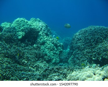 A healthy coral reef on the Big Island of Hawaii. The future of coral reefs is uncertain as climate change causes marine heatwaves and ocean acidification