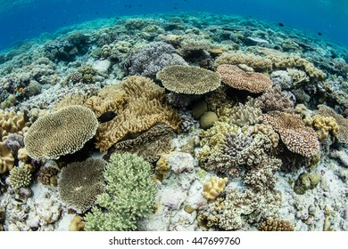 Healthy corals compete for space to grow on a shallow reef in Wakatobi National Park, Indonesia. This scenic area harbors an extraordinary amount of tropical marine biodiversity.