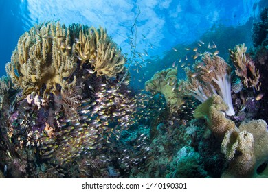 Healthy corals and fish thrive on a reef in Raja Ampat, Indonesia. This tropical region is home to an extraordinary array of marine biodiversity and is a popular destination for divers and snorkelers.