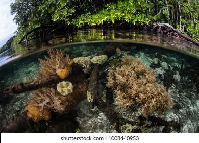"Healthy corals grow in the shallows fringing a mangrove forest in Raja Ampat, Indonesia. This area is known as the ""heart of the Coral Triangle"" due to its incredible marine biodiversity."