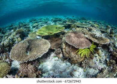 Healthy corals thrive in the shallow waters of Wakatobi National Park, Indonesia. This region is known for its spectacular marine biodiversity.