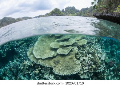 Healthy corals thrive in the shallows near remote islands in Raja Ampat, Indonesia. This incredibly beautiful tropical region is home to extraordinary marine biodiversity.