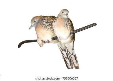 healthy a couple of Zebra dove (Geopelia striata) on a wire isolated on white background