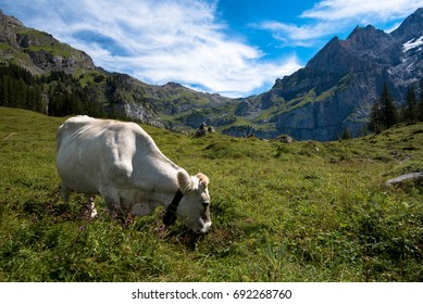 Healthy cow in the heights of Kandersteg