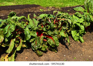 A healthy crop of Chard (Beta Vulgaris) growing in a garden in spring time. Chard is a leafy green vegetable often used in Mediterranean cooking.