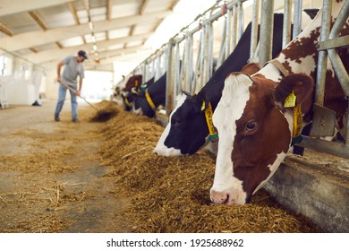 Healthy dairy cows feeding on fodder standing in row of stables in cattle farm barn with worker adding food for animals in blurred background. Concept of farming business and taking care of livestock