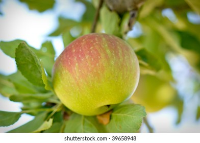 Healthy and Delicious Apple Hanging from Tree