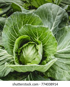 Healthy eating. Green head of spring cabbage