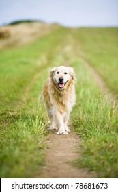 A healthy, fit, beautiful, old, female golden retriever running towards the camera whilst getting some exercise on a walk in the countryside