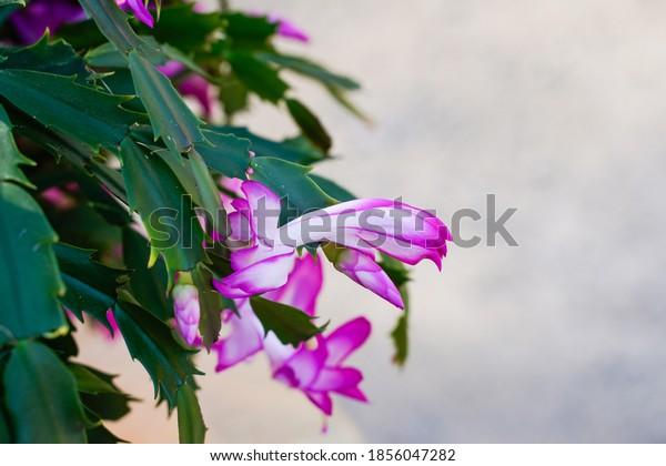 Healthy flowering Thanksgiving cactus or Christmas cactus. Bountiful flowers. Houseplant.