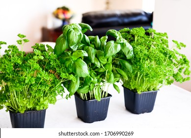 Healthy food clean eating, green fresh parsley and basil plants on gray concrete background top view flat lay.
