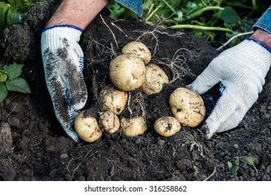 Healthy Fresh Organic Potatoes. Harvest.