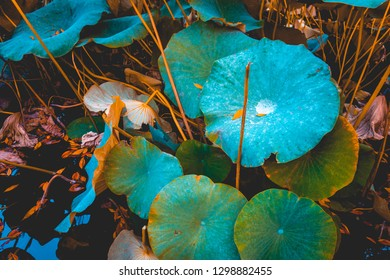 A healthy green lily pad plant growing in pond with warm sunset light.