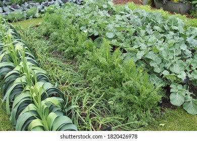 Healthy Green Vegetables Growing on an Allotment Plot.